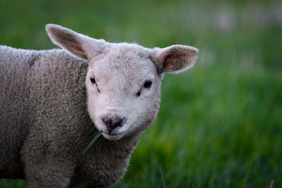 Smoking lamb