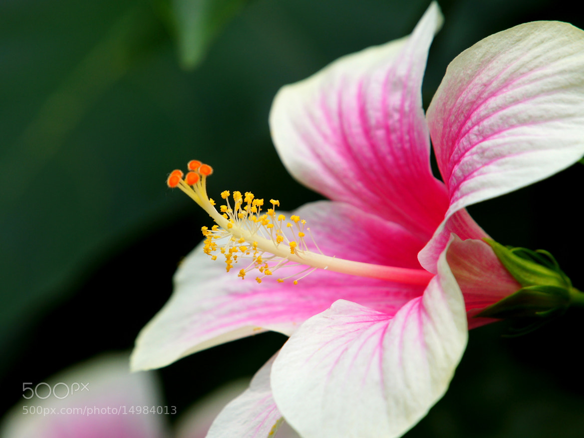 Photograph Hibiscus by liou han-lin on 500px
