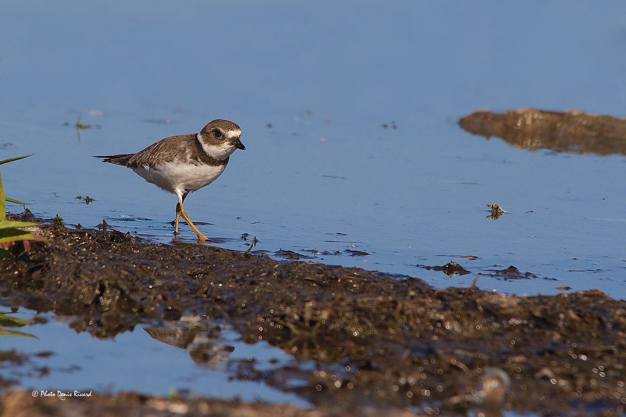 Photograph Semipalmated Plover by Denis Rivard on 500px