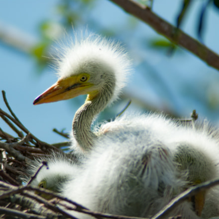 Baby Egrets In The, Sony DSLR-A390, Tamron 200-400mm F5.6 LD