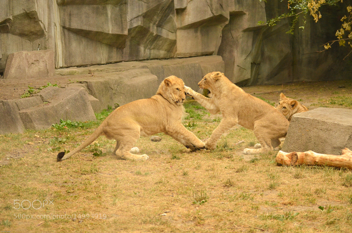 Photograph Lion's At Play by Lance Lemke on 500px