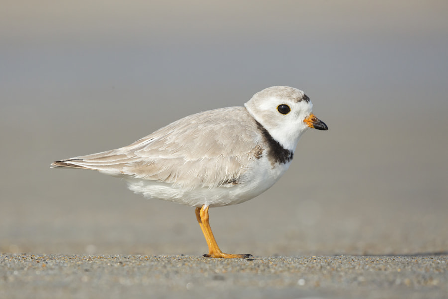 Piping Plover by molbrn on 500px.com