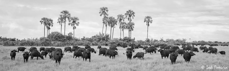 Photograph Buffalo herd by Isak Pretorius on 500px