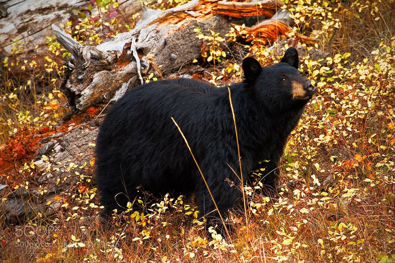 Photograph Autumn Black Bear by Steven Davis on 500px
