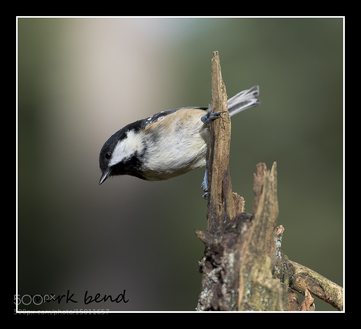 Photograph coal tit by Mark Bend on 500px