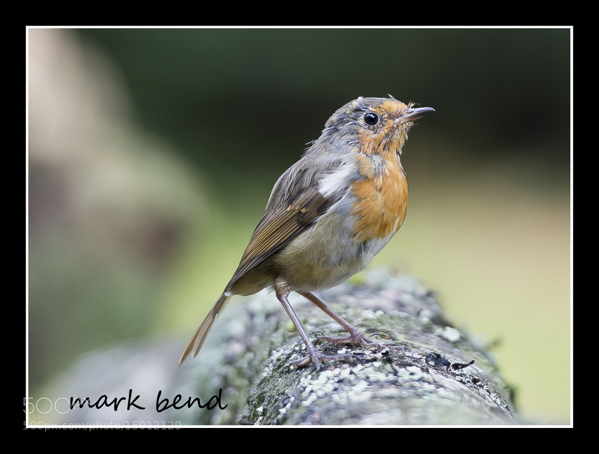 Photograph scruffy robin by Mark Bend on 500px