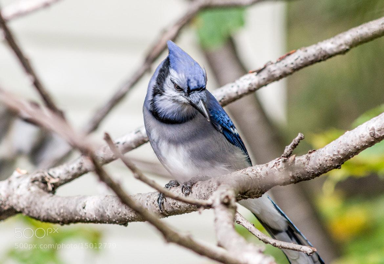 Photograph Blue Jay by Doug Swinson on 500px