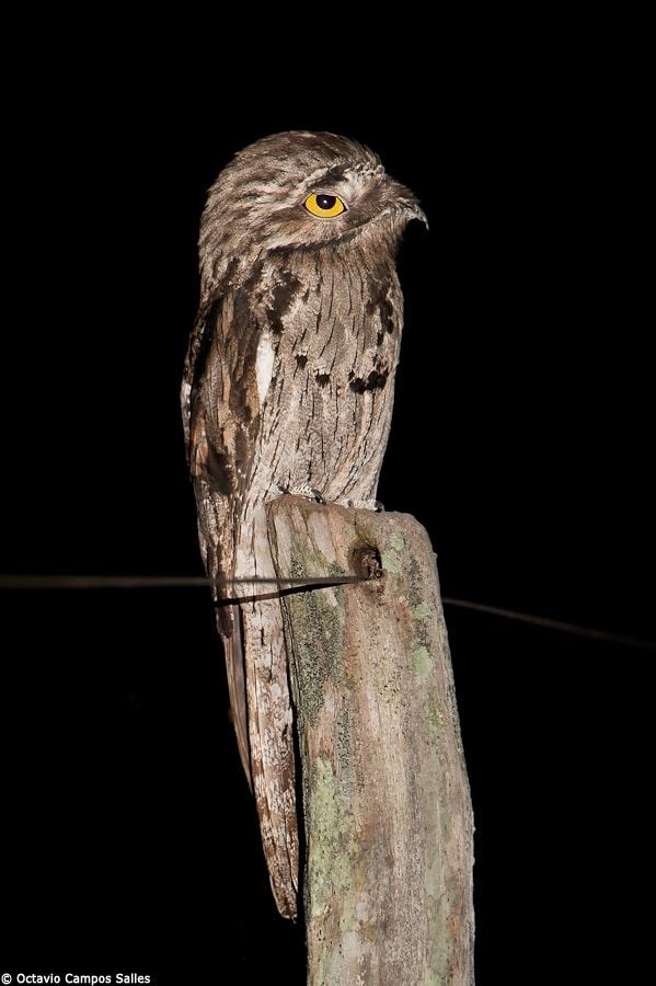 Photograph Common Potoo (Nyctibius griseus) by Octavio Campos Salles on 500px