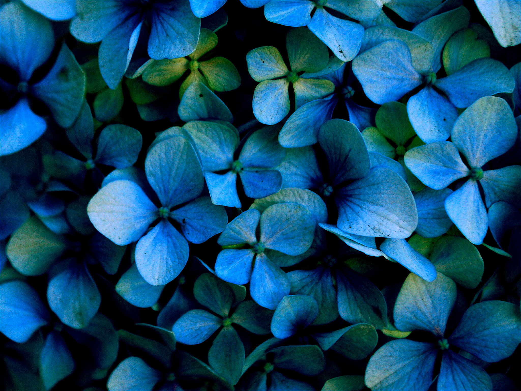 Photograph Hydrangea by Lora Doerfer on 500px