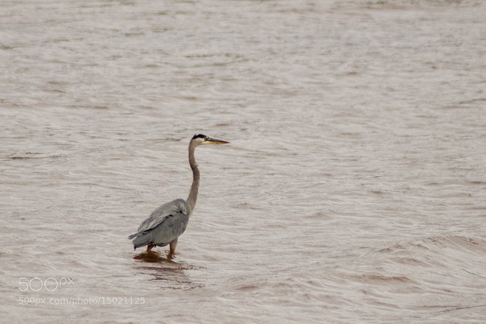 Photograph Heron by Kelly Goode on 500px