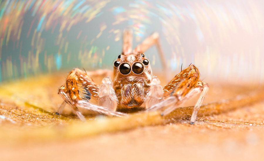 Photograph Jumping spider in the tunnel fire. by Joe Teamworkshop on 500px