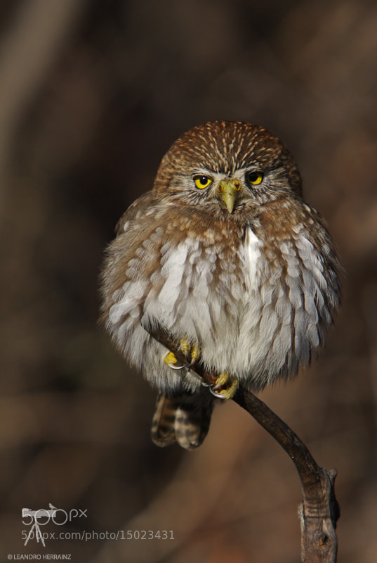 Photograph Cabure grande - Austral pygmy owl by Leandro Herrainz on 500px