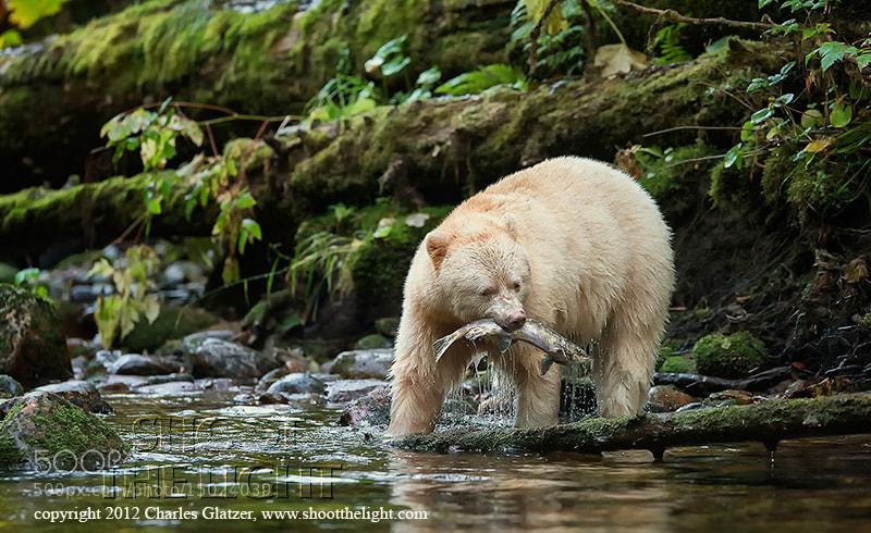 Photograph Spirit bear, BC by Charles Glatzer on 500px