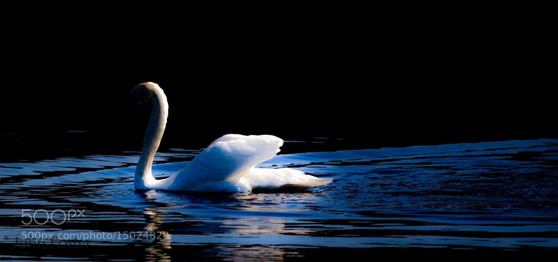 Photograph Dark Swan by John Foster on 500px