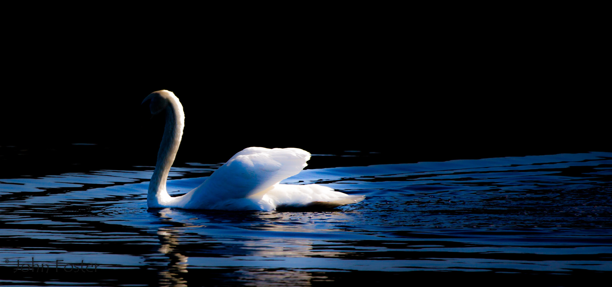 Photograph Dark Swan by John Foster on 500px