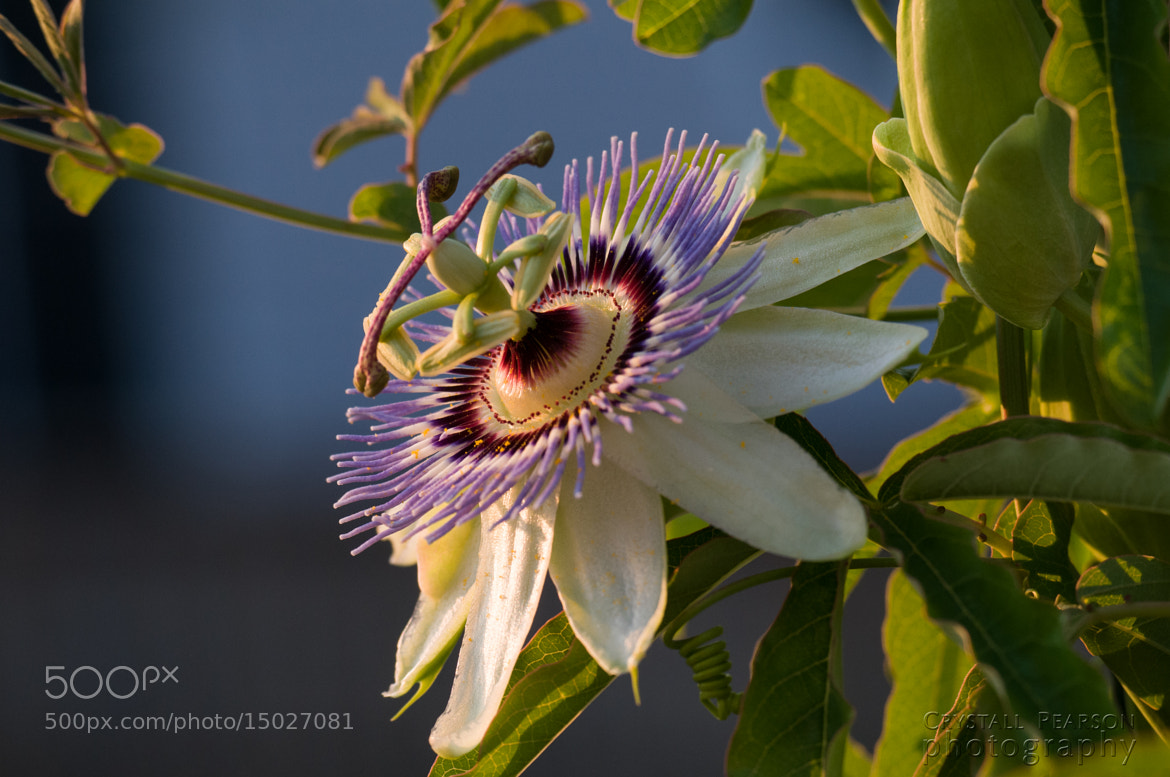 Photograph Passion Flower Profile by Crystall Pearson on 500px