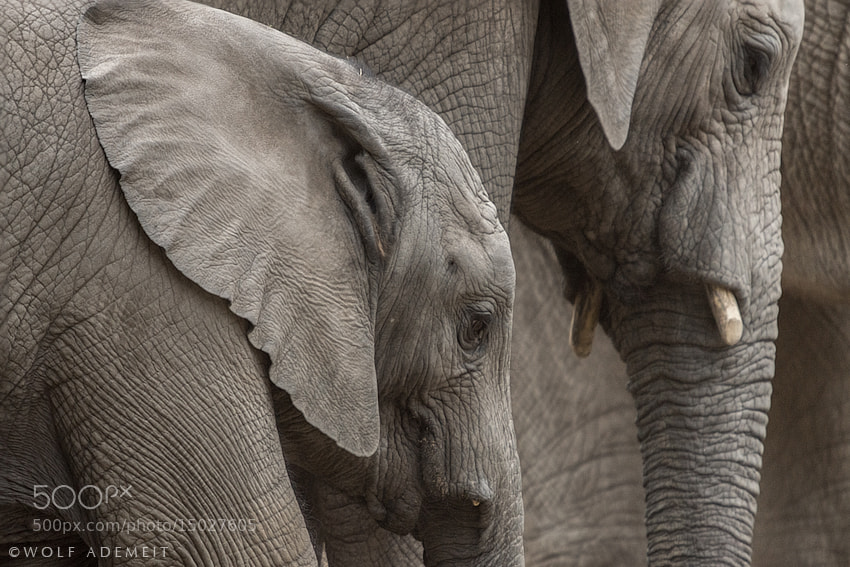 Photograph ELEPHANTS by Wolf Ademeit on 500px