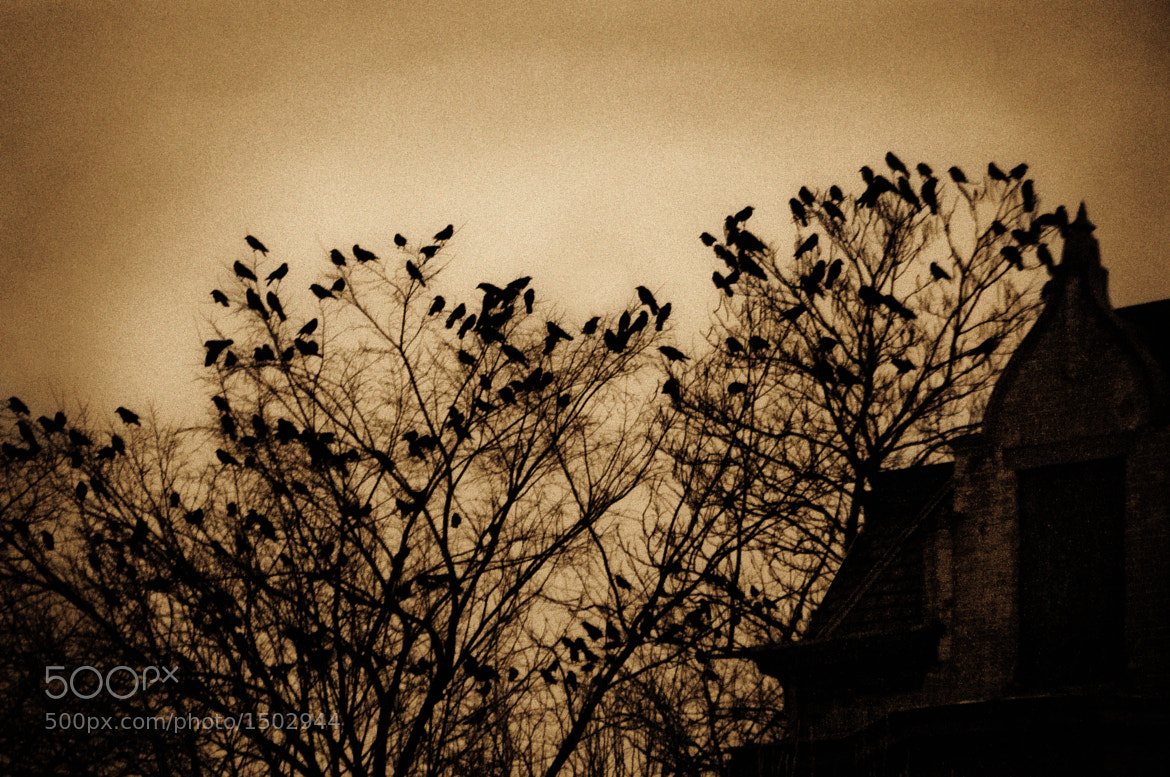 Photograph Crows by Steven Kersting on 500px