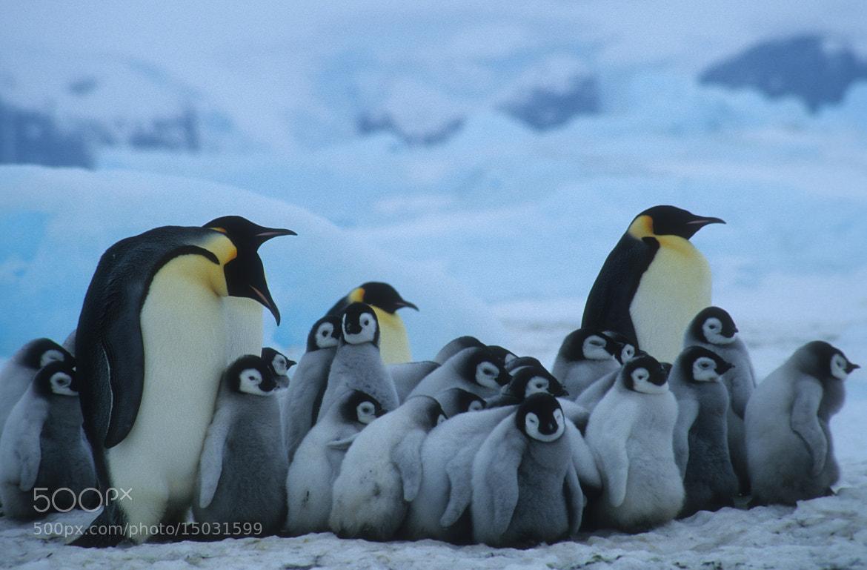 Photograph Emperor penguins by Cornelia Braun on 500px