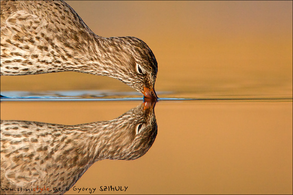 Photograph Common Redshank (Tringa totanus) by Gyorgy Szimuly on 500px