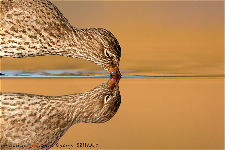 Common Redshank (Tringa totanus) by Gyorgy Szimuly on 500px.com