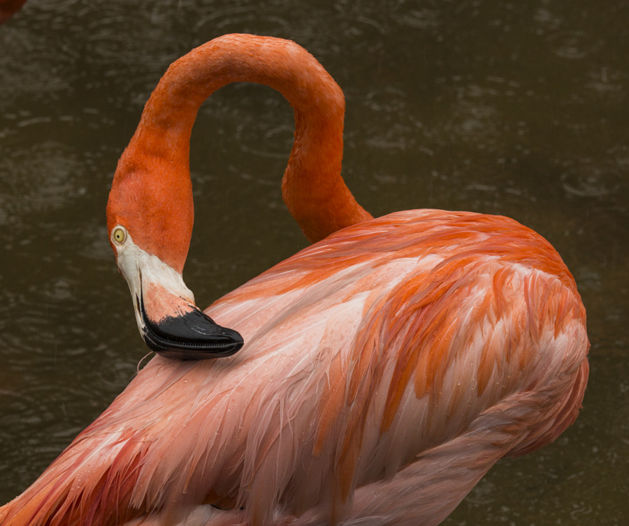 American Flamingo preening