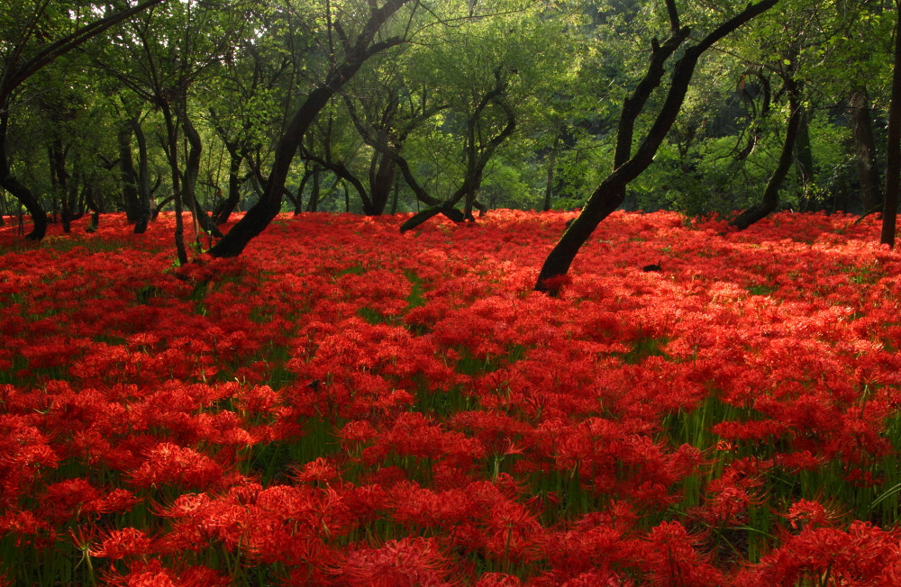 Photograph Red Carpet-2 by Sueo Takano on 500px