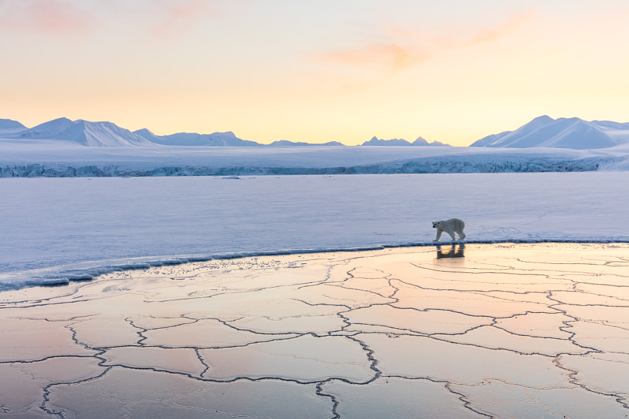 Ice Bear by Josh Anon on 500px.com