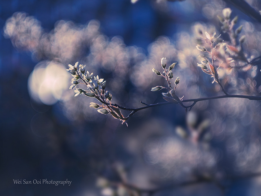 Cherry Blossom 41 by Wei-San Ooi on 500px.com