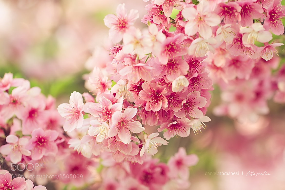 Photograph Sakura by Dani Romanesi on 500px