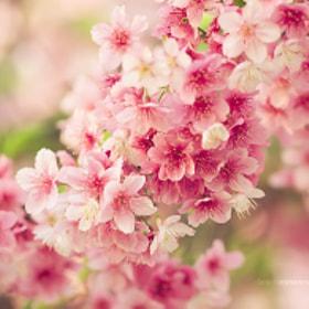 Sakura by Dani Romanesi (daniromanesi) on 500px.com
