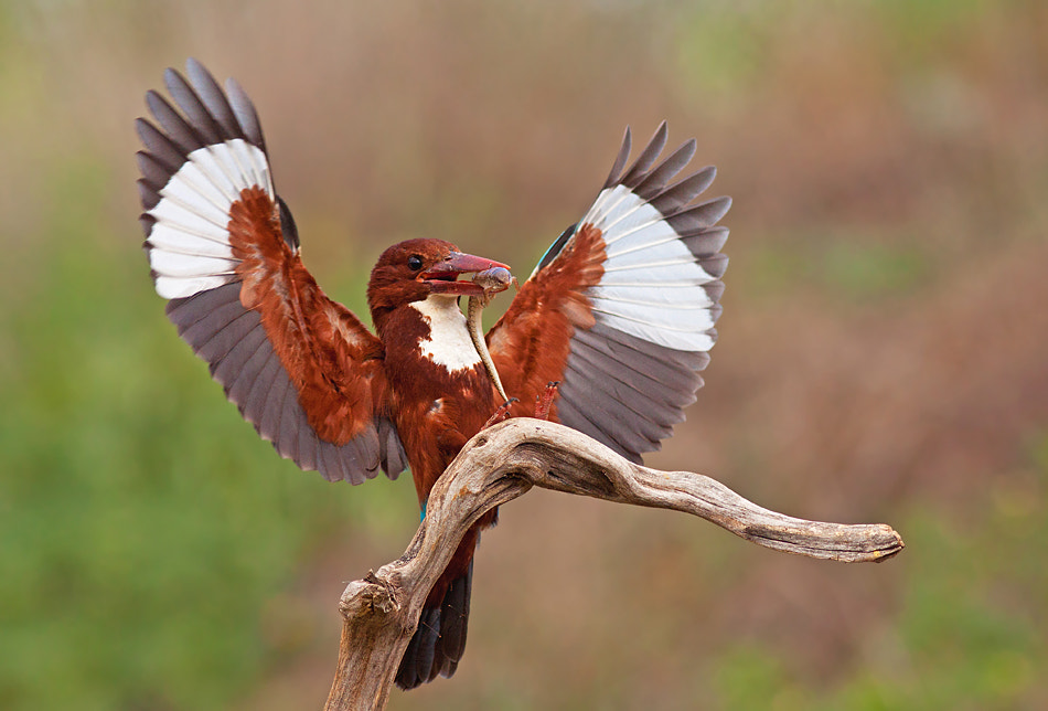Photograph White-throated Kingfisher by Roy Avraham on 500px