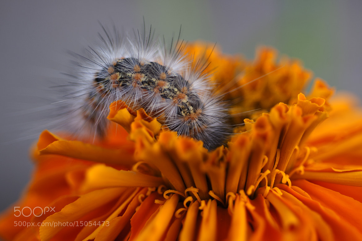Photograph Flower and caterpillar by Cristobal Garciaferro Rubio on 500px