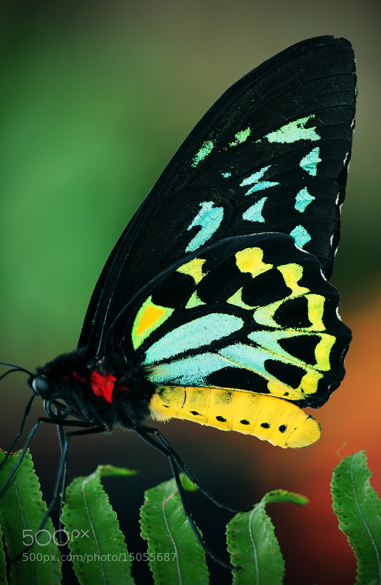 Photograph Butterfly - Cairns Birdwing (Ornithoptera euphorion) by Jason McSpadden on 500px