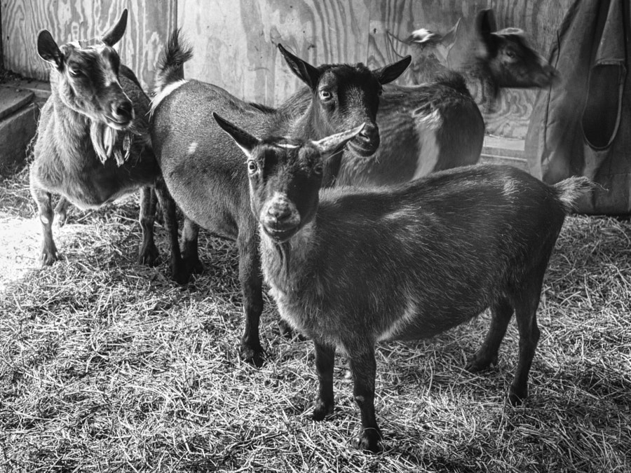 Goats by John Poltrack on 500px.com