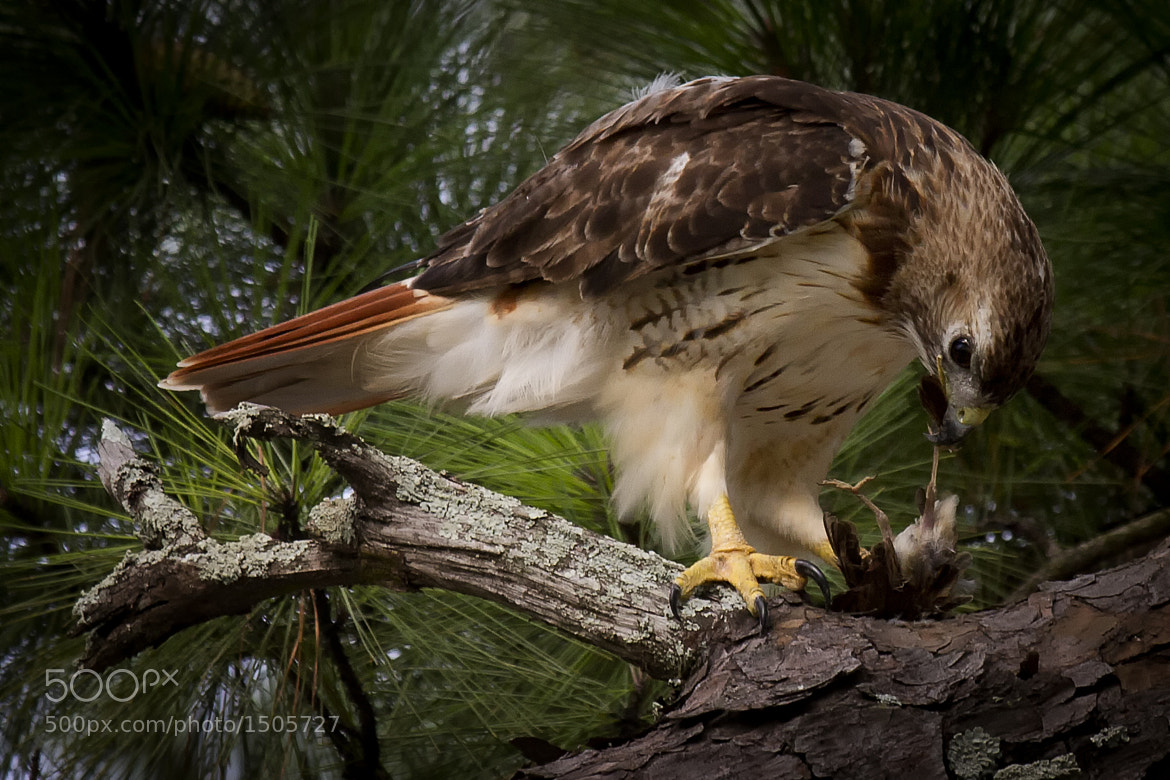 Photograph A quick meal for a hawk by Darrell Miller on 500px