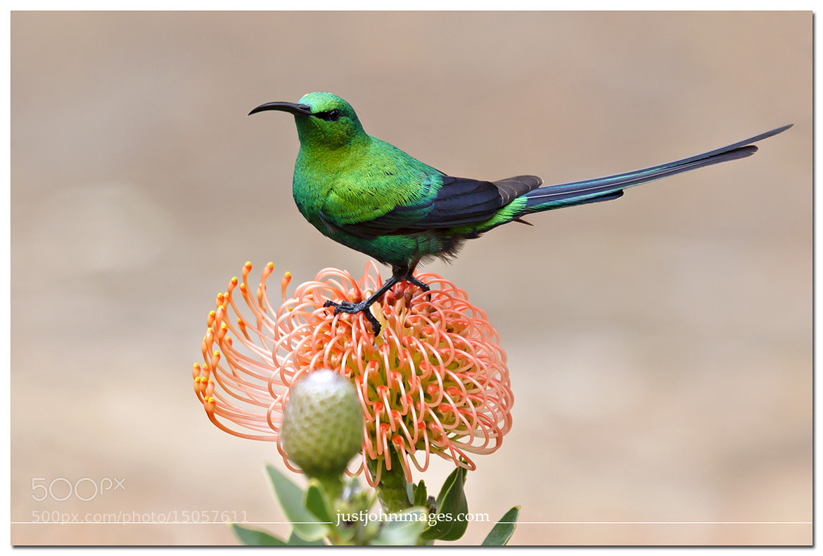 Photograph Malachite Sunbird. by John Maarschalk on 500px