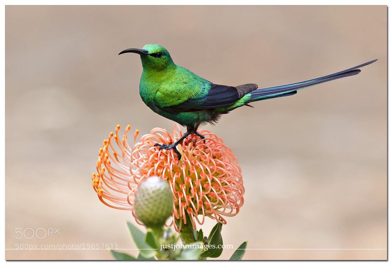 Photograph Malachite Sunbird. by John Maarschalk on 500px
