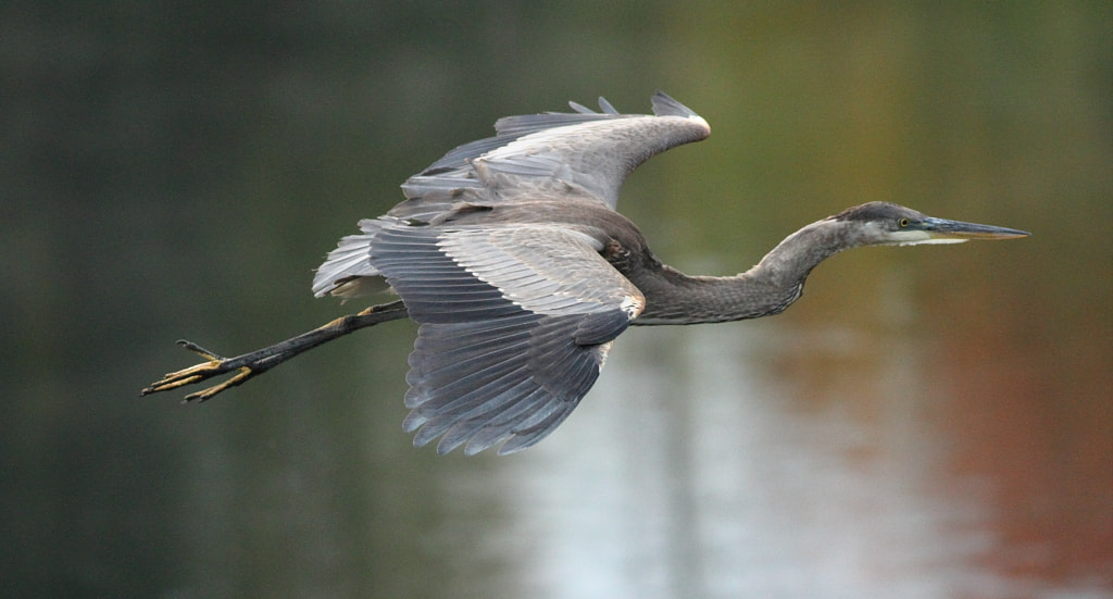 Photograph flying great blue heron by H Singh on 500px