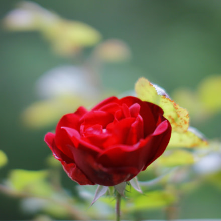 A Growing Red Rose, Canon EOS 1100D
