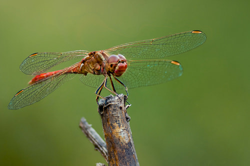 Photograph dragonfly by Viktoria  Pettenkoffer on 500px