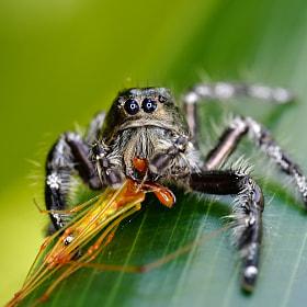 Spider Catch It's Prey