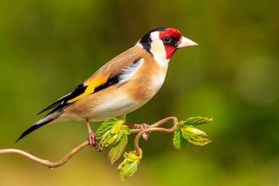 goldfinch by Robert Kelly on 500px.com