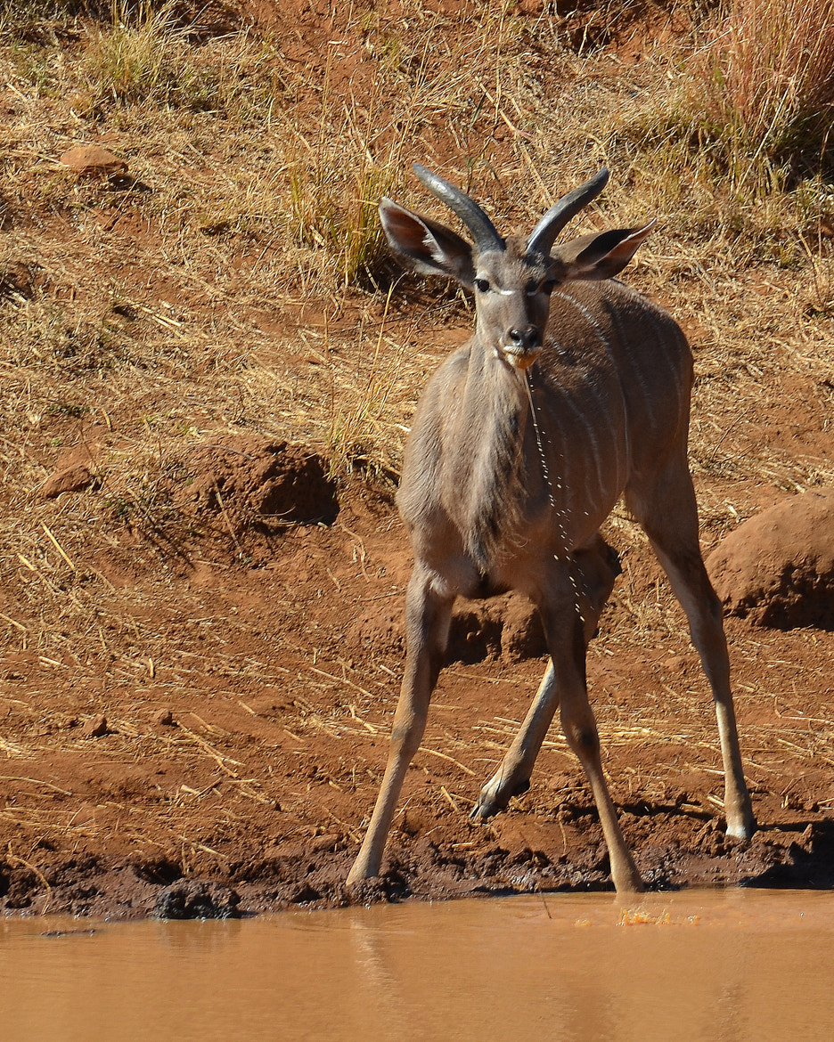 Photograph Kudu Male by Kevin Jones on 500px