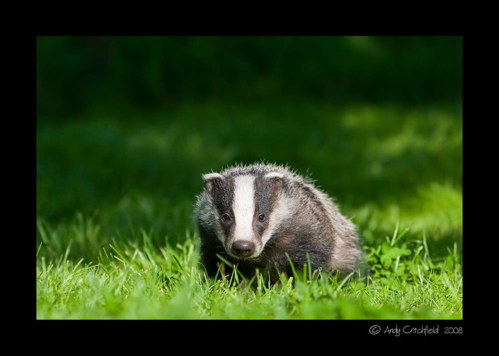 Photograph Badger by Hardpoint Photography on 500px