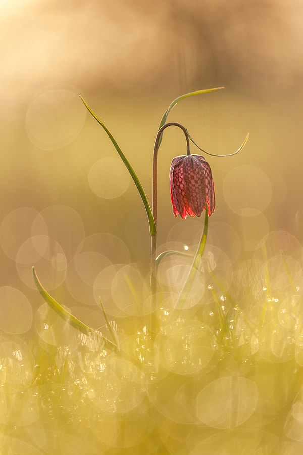 dreamy chessflower by Robert Sommer on 500px.com