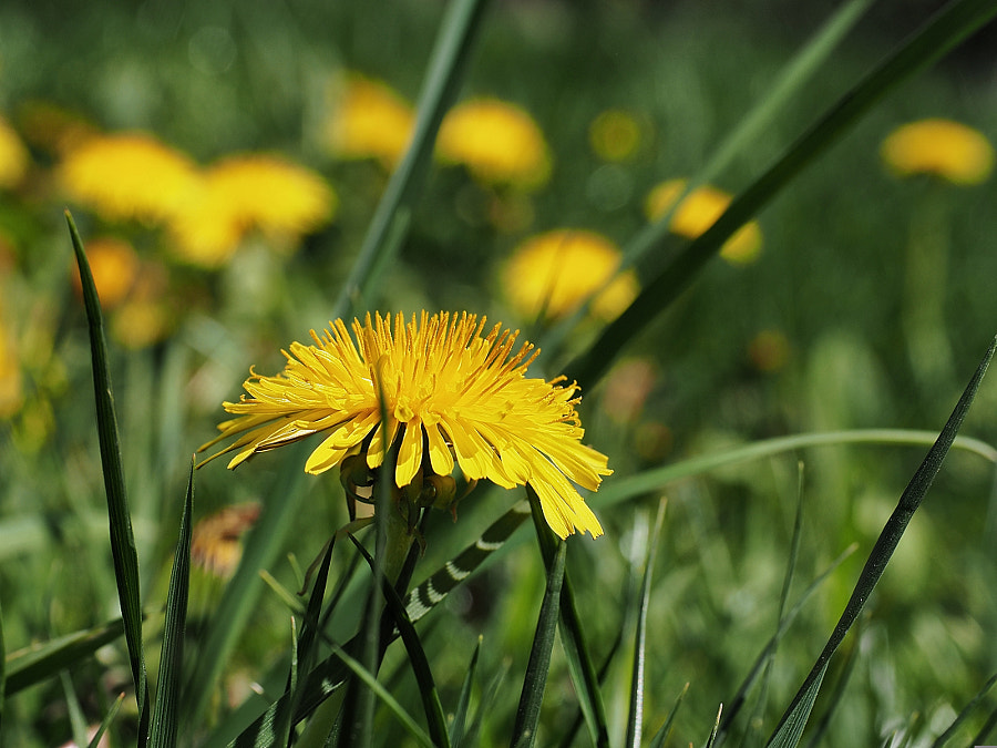 Dandelion by Nancy Lundebjerg on 500px.com