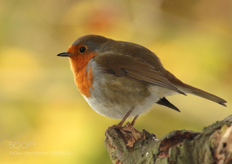 Photograph Autumnal Robin by Samuel Aron on 500px