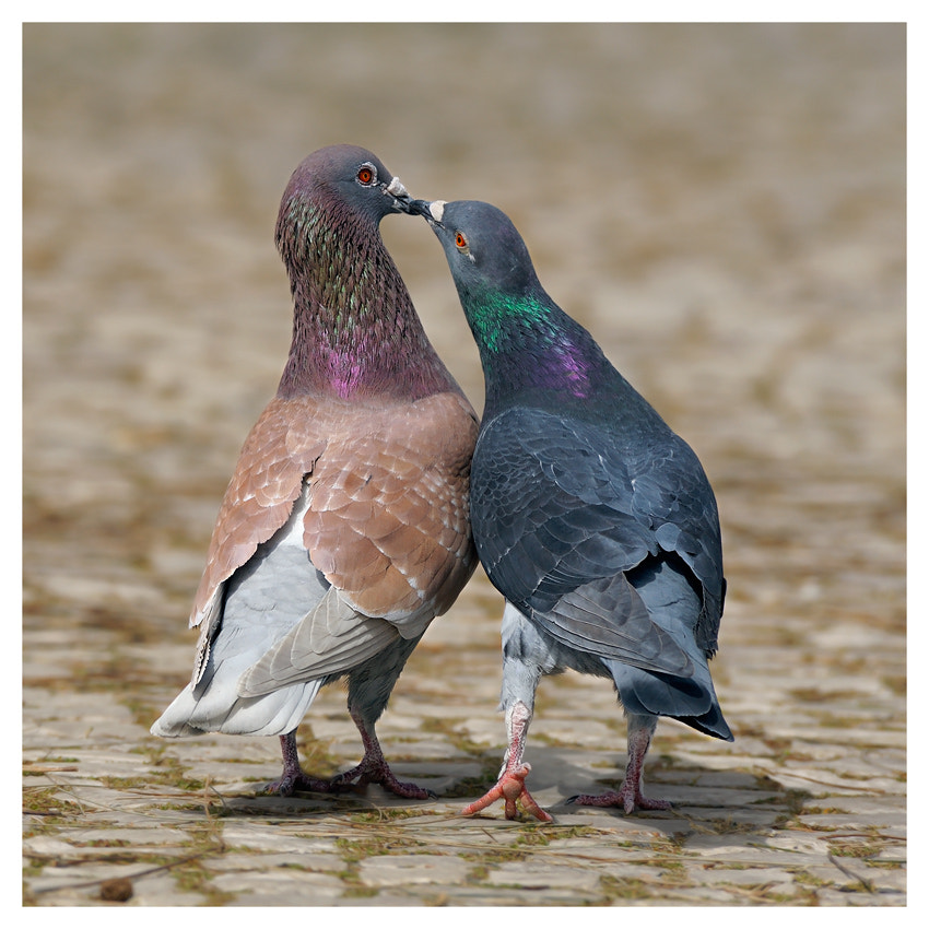 Photograph Love and pigeons by natalia paklina on 500px