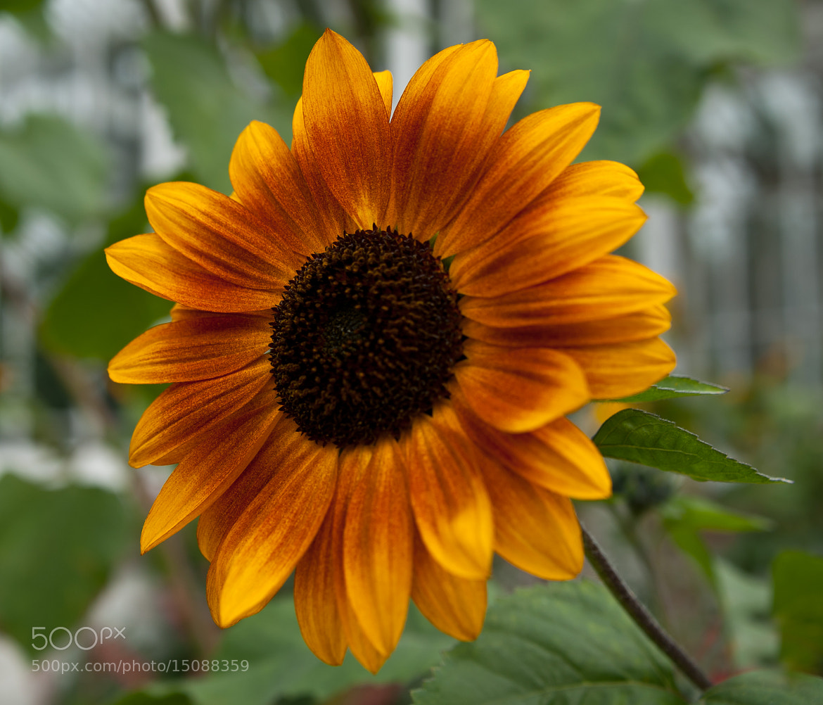 Photograph Sunflower by Jenni Lucas on 500px